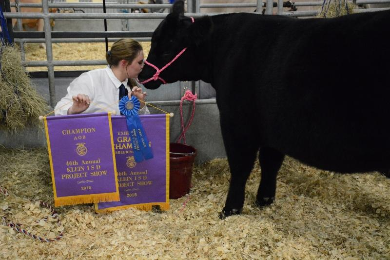 Junior Ashley Hays, with her beef cattle, won the Grand Champion award for Breeding Beef during the Klein FFA Show from Feb. 3 to 7. Photo by Karly Byrne.